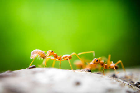 Orange ants with green color background photo