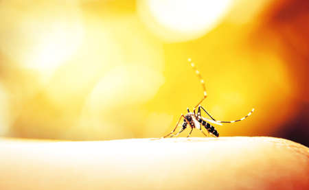 Mosquito sucking blood on human skin with nature background Banque d'images