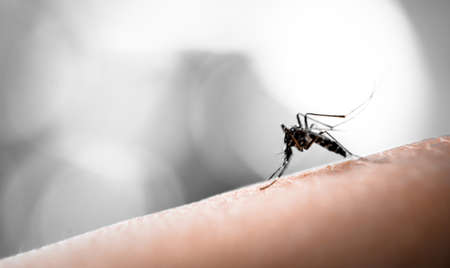 Mosquito sucking blood on human skin with nature background Stock Photo