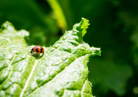 vegetable organic of lettuce and ladybug in the garden