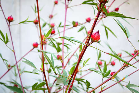 Roselle flowers is blooming in the garden photo