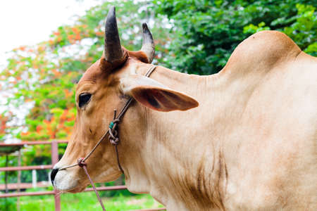Horns of cow for agriculture in the farm photo