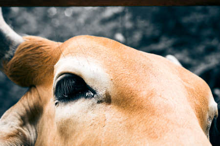 closeup cow face: Face of cow for agriculture in the farm