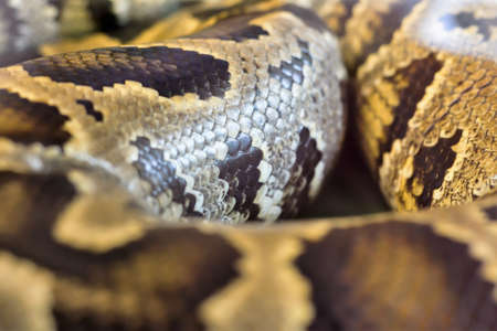 Big boa snake was curled up in a cage Stock Photo
