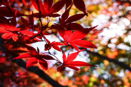 Autumn season colorful of leaves  in Sapporo Hokkaido Japan 免版税图像