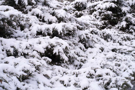 Fir pine tree bushes covered with snow