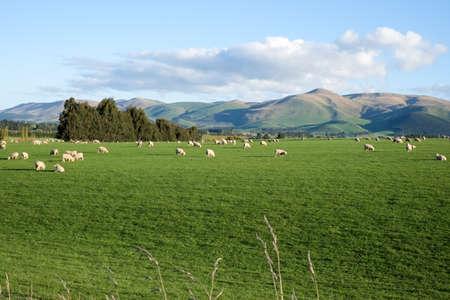 pecora: Pecore e agnelli in campo di erba verde e sfondo di montagna nelle zone rurali della Nuova Zelanda Archivio Fotografico