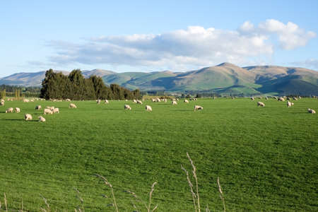 Sheep and lambs in green grass field and mountain background in rural of New Zealand