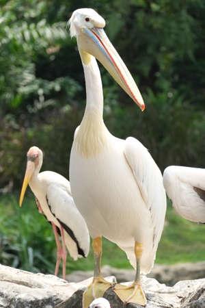 White beautiful Pelican