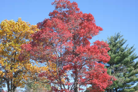 Three color (yellow, red, and green) tree with blue sky Reklamní fotografie