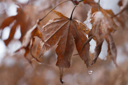 Dry Maple leaves in winter