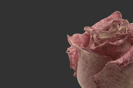 DRIED ROSE ON GRAY BACKGROUND - SPACE FOR TEXT Reklamní fotografie