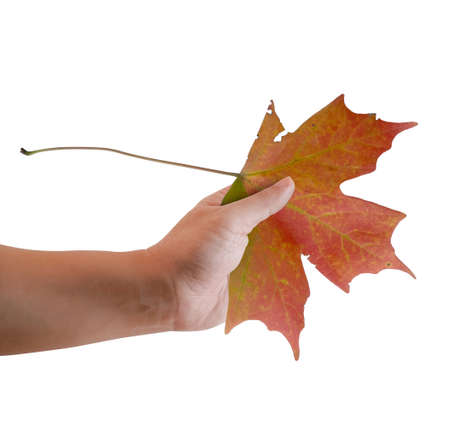 Hand of a man holding an Autumn Maple leaf . Isolated on white background.
