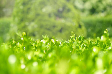Green leaves of bush with nice light and bokeh.