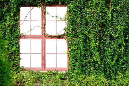 Isolated on white background image of  window of a house with Ivy grows cover the wall. Clipping path included. Reklamní fotografie