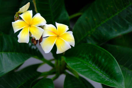 Beautiful Frangipani flowers with dark green leaves in background. Stock Photo
