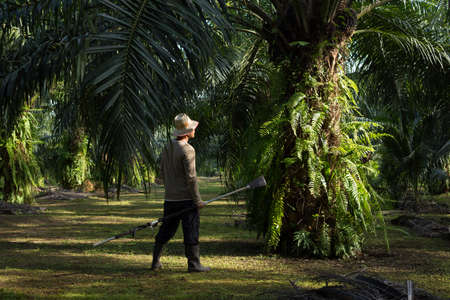 Farmers walk in the palm plantation in the morning.