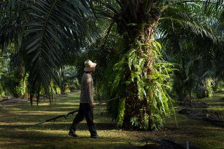 agricultor: Los agricultores caminan en la plantación de palma de la mañana. Foto de archivo