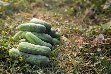cucumbers: Fresh cucumbers grown organic.