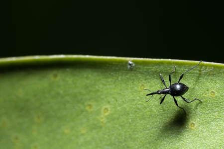 Black weevil Stock Photo
