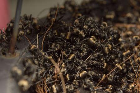 masses ants black