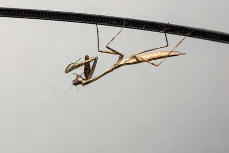 mantis: Mantis Brown