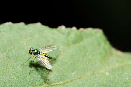 long-legged flies