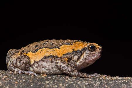 The bullfrog Stock Photo