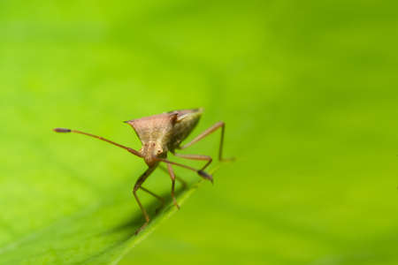 Closeup photo of brown assassin bugs on leaf Stock Photo