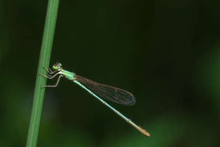 zygoptera: Insect close-up photos Damselfly