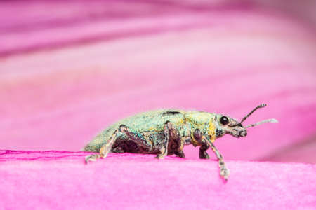 golddust: Close up photos Green weevil Stock Photo