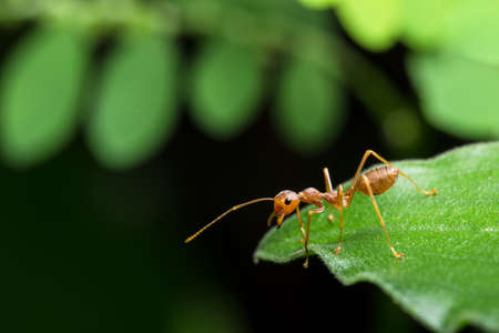 safeguards: Take a close-up, the red ant on the leaf. Stock Photo