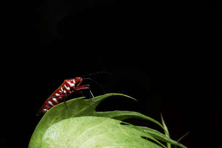 Closeup photo of red assassin bugs on leaf