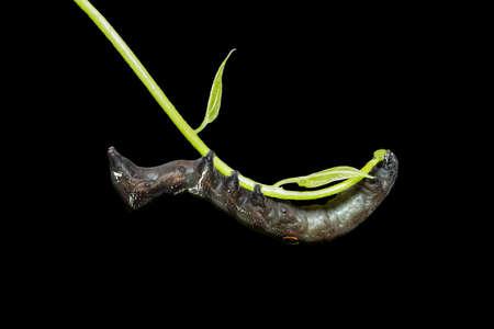 deilephila: Close up photos of brown caterpillars