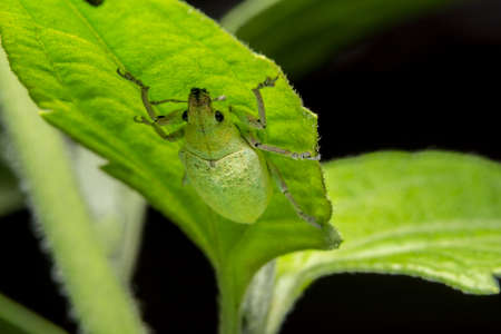 Take a close-up Green weevil