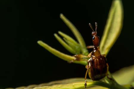 Macro insect Curculionoidea on leaf