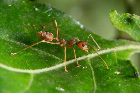 Macro red ants on plants Stockfoto