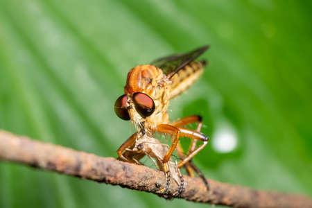 Macro Robber fly on leaf