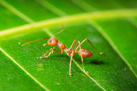 Macro red ant on a leaf Stock Photo