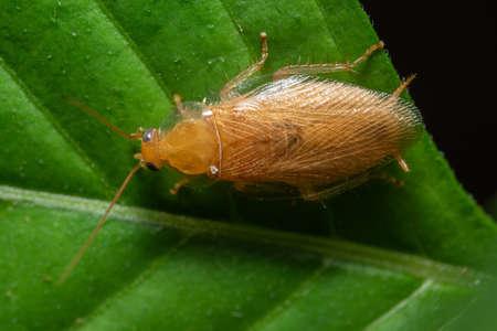 German roach macro on leaf Stockfoto
