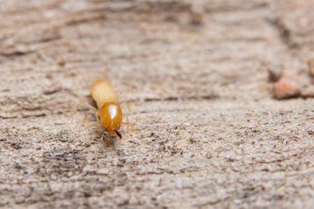 Macro termite on wood