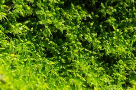 Macro Moss Litchi Green