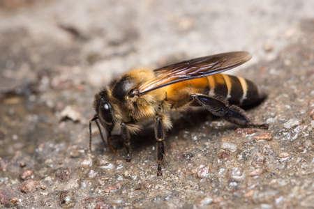 Macro bee on ground