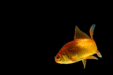 Carp Golden fish