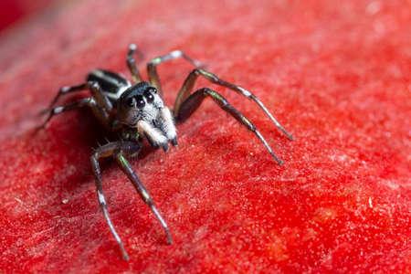 Macro spin op rode achtergrond