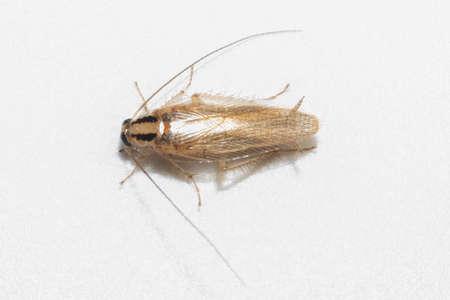 German roach macro white background(Blatella germanica) Stockfoto