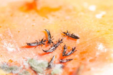 Close up aphylinidae Reklamní fotografie