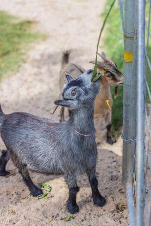 Goat in the zoo Stockfoto