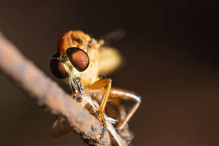 Macro Robber fly on leaf