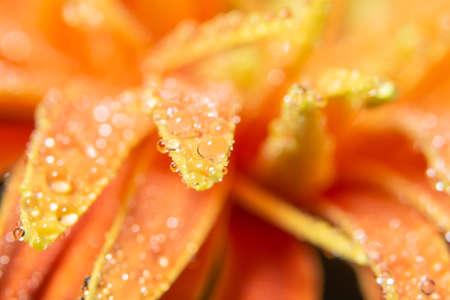 Water drops on orange flower petals Imagens